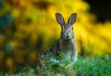 Close-up photo of a rabbit on a field