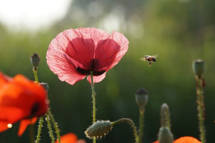 how to get rid of bees bee-flower-summer-poppy-nature