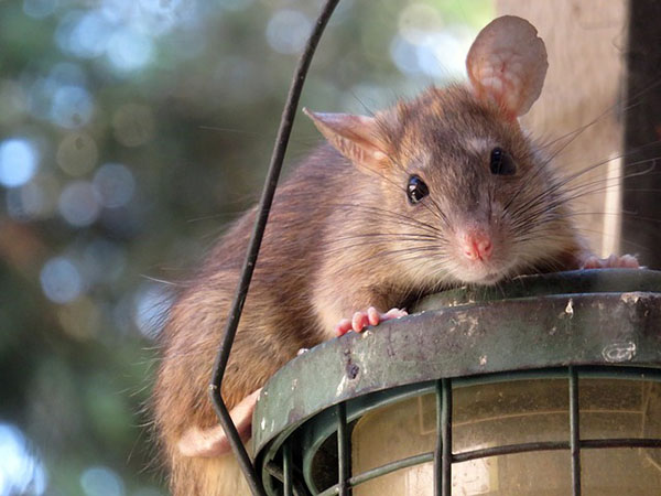 Roof Rat at the lamp