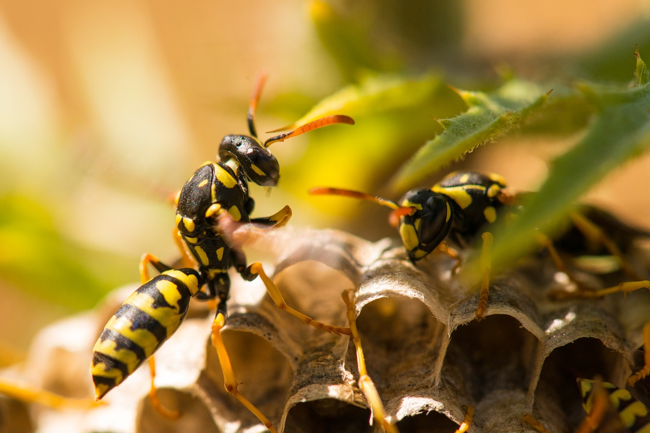 Two wasp building a nest