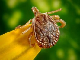 Photo of a tick