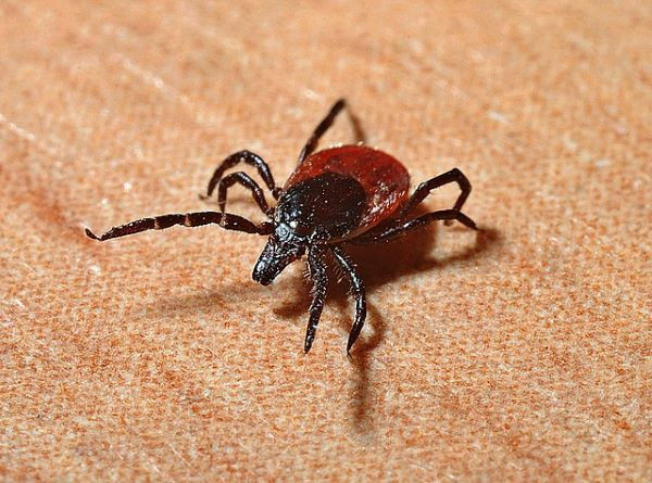 Photo of a red back tick